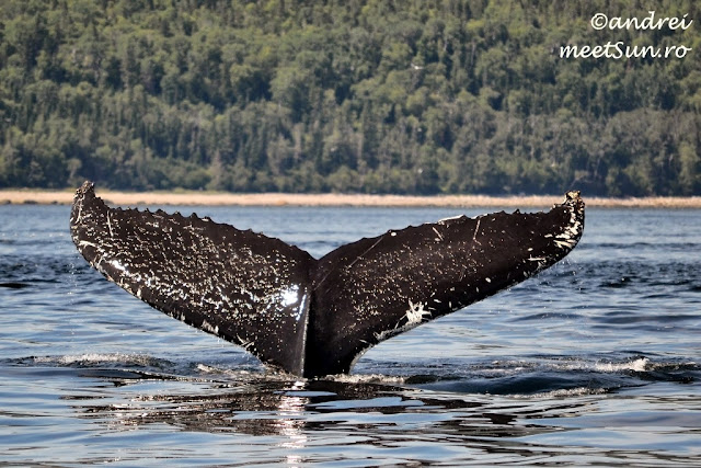 Balena comuna in St Lawrence - whale-watching