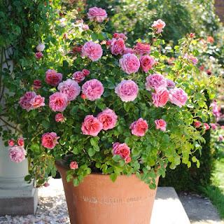 hoa hồng kent