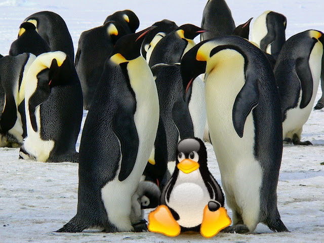 Pinguins imperador em habitat natural: Dois pinguins adultos com seus dois filhotes em destaque na imagem e ao fundo muitos pinguins na imensidão de neve.