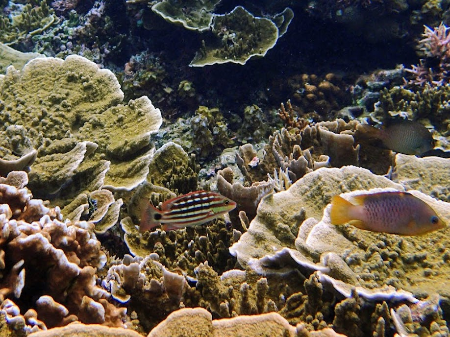 Lutjanus decussatus (Checkered Snapper), Small Lagoon, Miniloc Island, Palawan, Philippines.