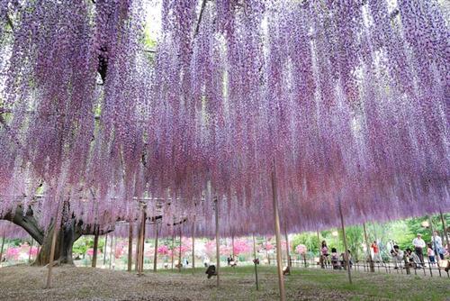 உலகின் மிகவும் அழகான மரம் இதுதான் : புகைப்படங்கள் Japan