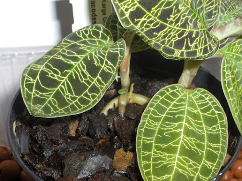 Macodes Petola, jewel orchid species, growth of a new shoot from the stem