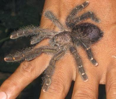 Tarantula on a hand