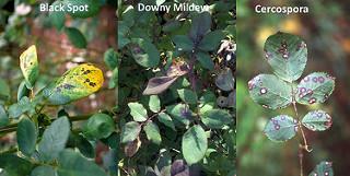 Phân biệt bệnh đốm đen (Trái), bệnh sương mai (giữa), bệnh đốm lá Cercospora (phải) trên cây hồng