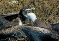 Galapagos Frigate Birds Parent Feeding Chick
