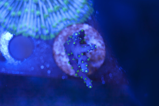 CRW 3969 - zoas and palys-  lps - sps - nightmares and people eaters!