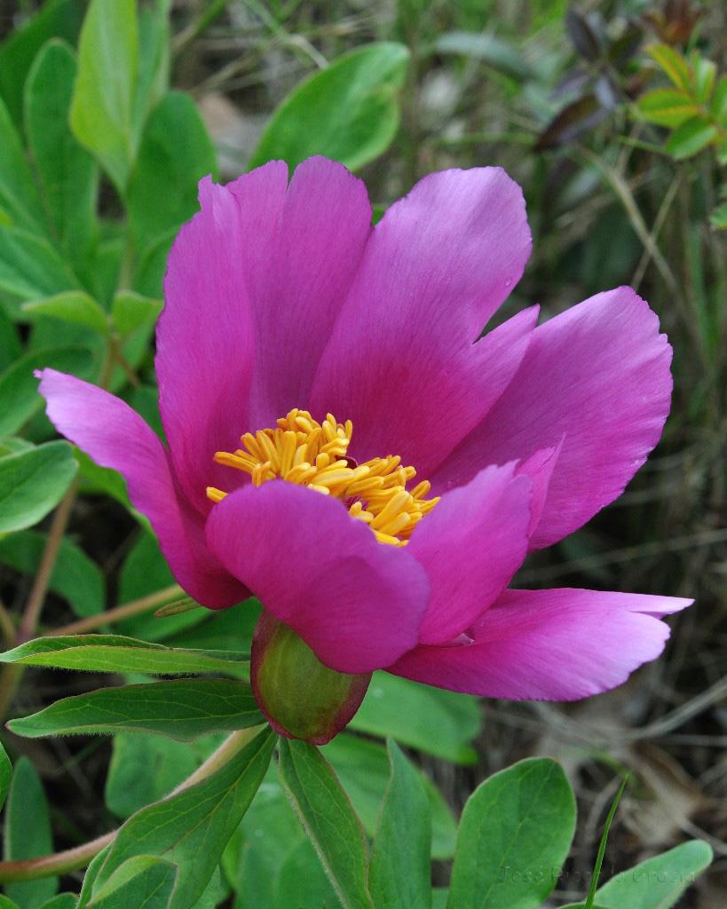 Peonia for Una planta ornamental