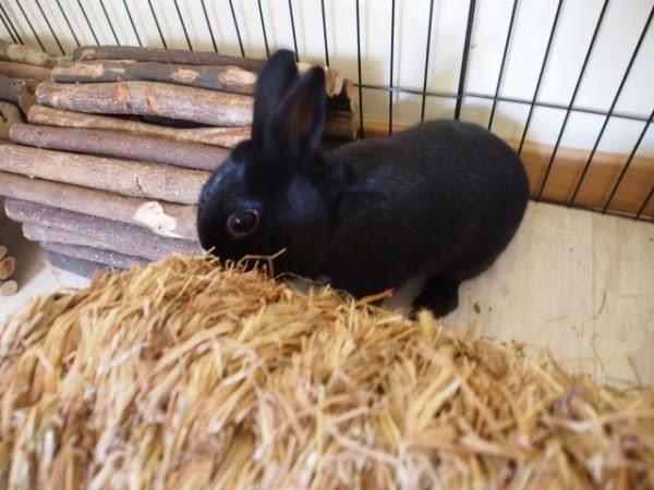 Prince, petit lapin noir-[adopté] Prince4-7420a