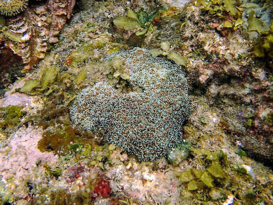 Galaxea astreata (Galaxy Coral), El Nido, Palawan, Philippines.