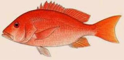 Kolagen Sisik Ikan Merah (Red Snapper Scale-RSS) dari Jepun