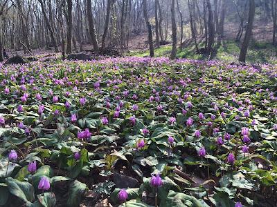 カタクリ満開の三毳山と古河桃の花まつり