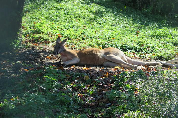 Im Schatten döst ein Riesenkänguru