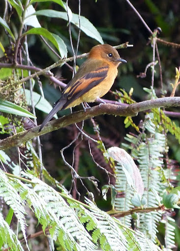 Cinnamon flycatcher (Pyrrhomyias...
