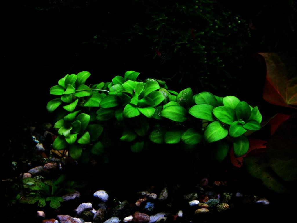 tìm hiểu các loại cây thủy sinh tiền cảnh