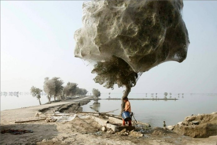 Spiders Fleeing Pakistan's Floodwater & Camped On Trees