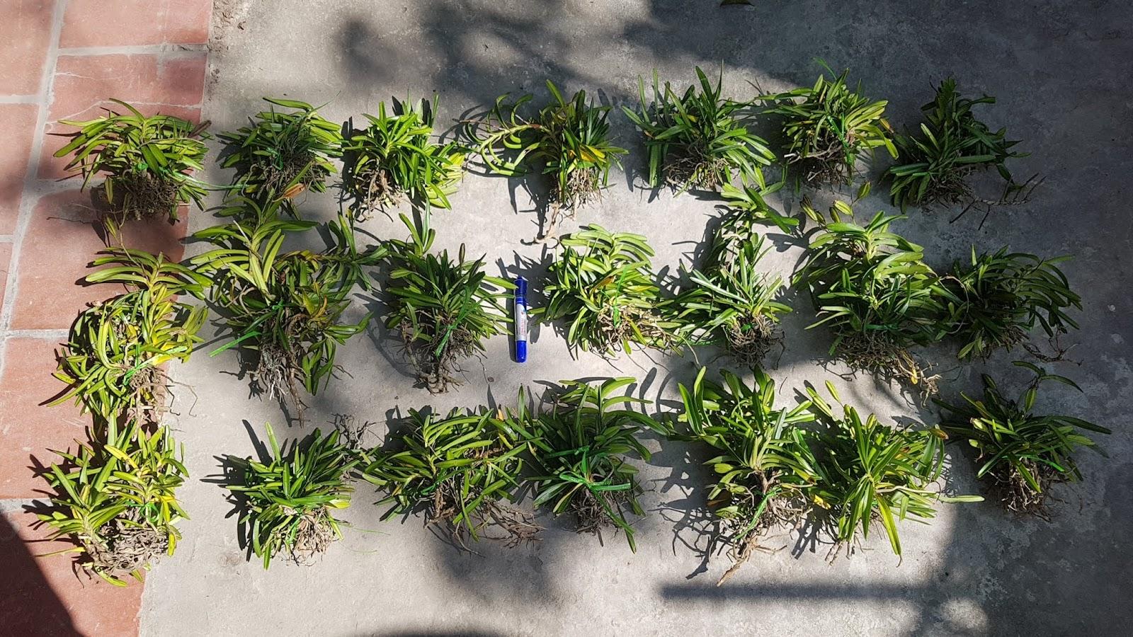 Cù Lao Minh rừng hàng đep bán tại phonglarung.com