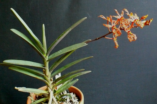 Растения из Тюмени. Краткий обзор - Страница 7 Renanthera%252520monachica