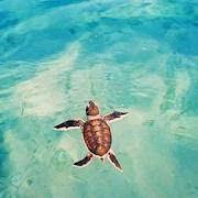 К чему снится морская черепаха?
