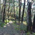 Grove of Alpine Ash on the Cascade trail (281609)