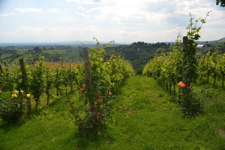 Wines of Croatia