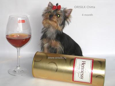 Orisilk Chitta щенок йоркширского терьера Орисилк Читта 4 месяца
