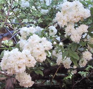 White Lady Banksia rose