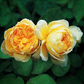 Nụ Hoa hồng leo St Alban