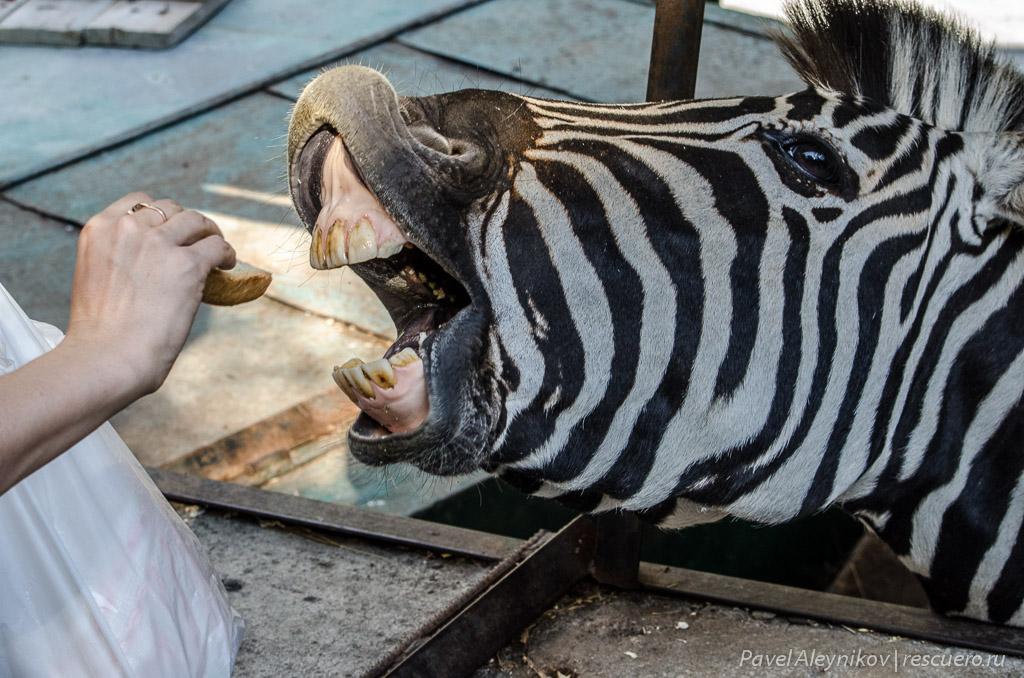 Зебра ест