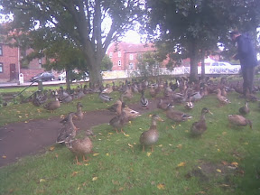 Hundreds of brown ducks standing around under trees