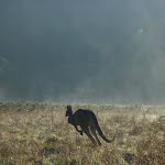 Roo at Behrs Flat (292036)