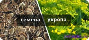Укропное семя для очищения организма