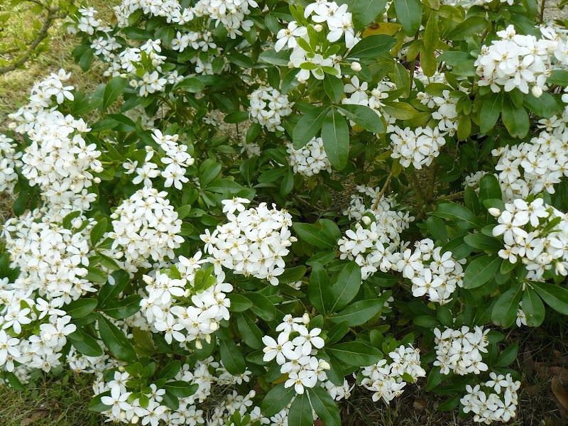 Des floraisons au jardin ... P1030262