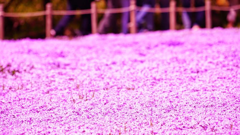 富士芝桜まつり 写真2