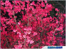 炫麗奪目的櫻花花海