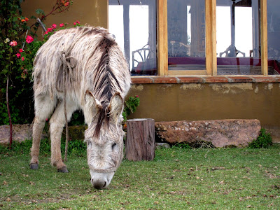 Donkey grazing on the Isla del Sol on Lake Titicaca in Bolivia