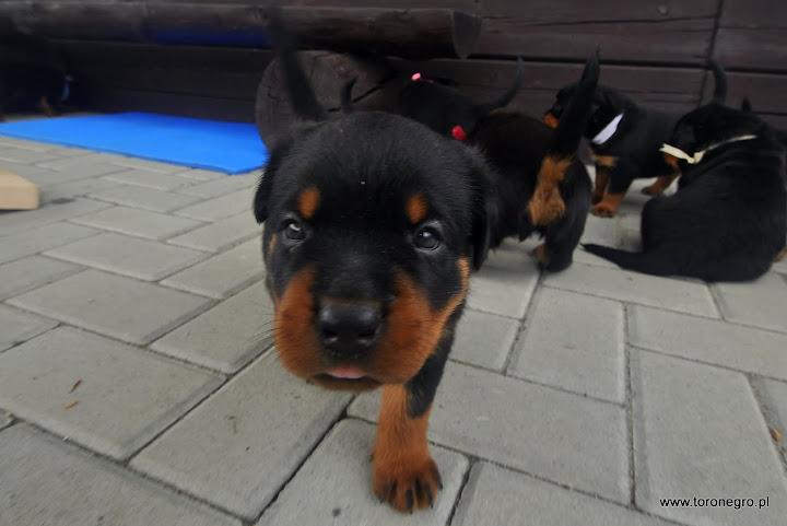 Rottweiler szczeniaczek miły