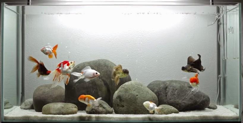 hồ cá trọn bộ nuôi cá 3 đuôi