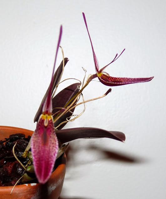 Restrepia condorensis P1430060