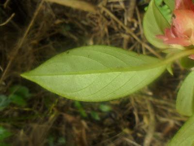 Nematanthus tessmannii http://sites.google.com/site/florasbs/home São Bento do Sul - Santa Catarina