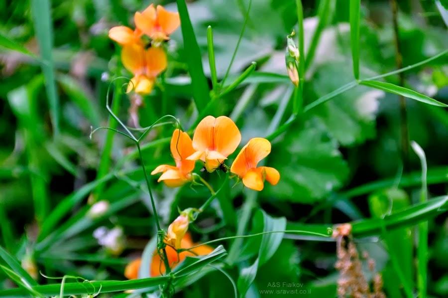 Цветы весной на Голанских высотах. Экскурсия на Голанские высоты. Гид Светлана Фиалкова.