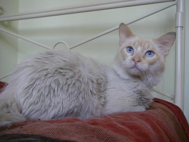 EGO, precioso angora en adopción. Sevilla Yeti