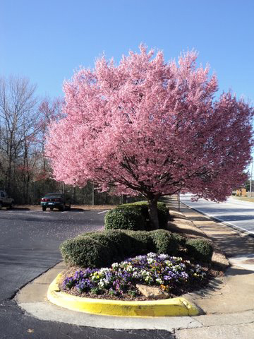 Crabapple landscapexperts crabapple trees bloom pink and white in crabapple trees bloom pink and white in metro atlanta mightylinksfo