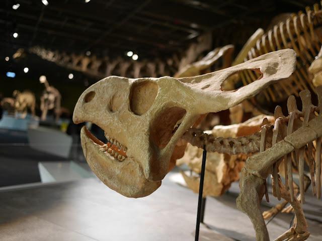 Juvenile Protoceratops