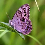 Сон бабочки