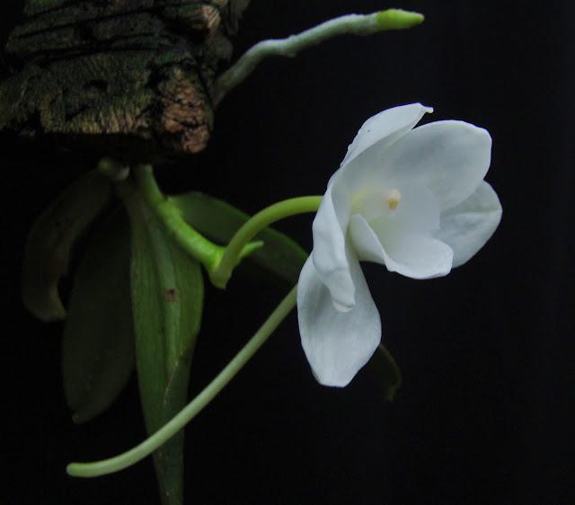 Amesiella monticola DSC03321