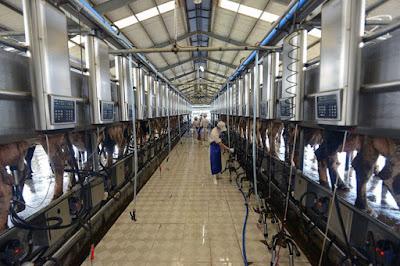 Tuyển 3 nam lao động làm công việc chăn nuôi bò sữa tại Hokkaido Nhật Bản