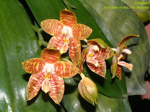 Растения из Тюмени. Краткий обзор - Страница 7 Phalaenopsis%252520amboinense