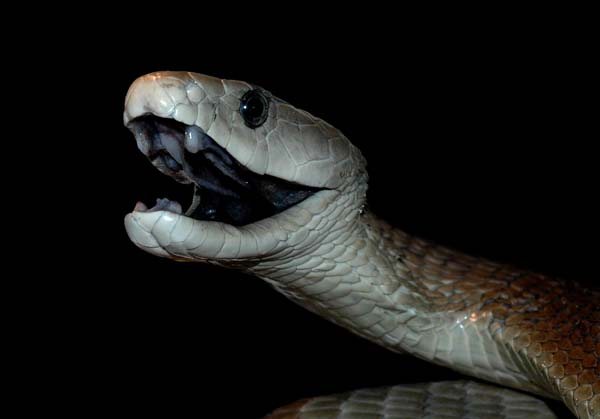 Nature: Observations and Meanings: BLACK MAMBA: Reputation