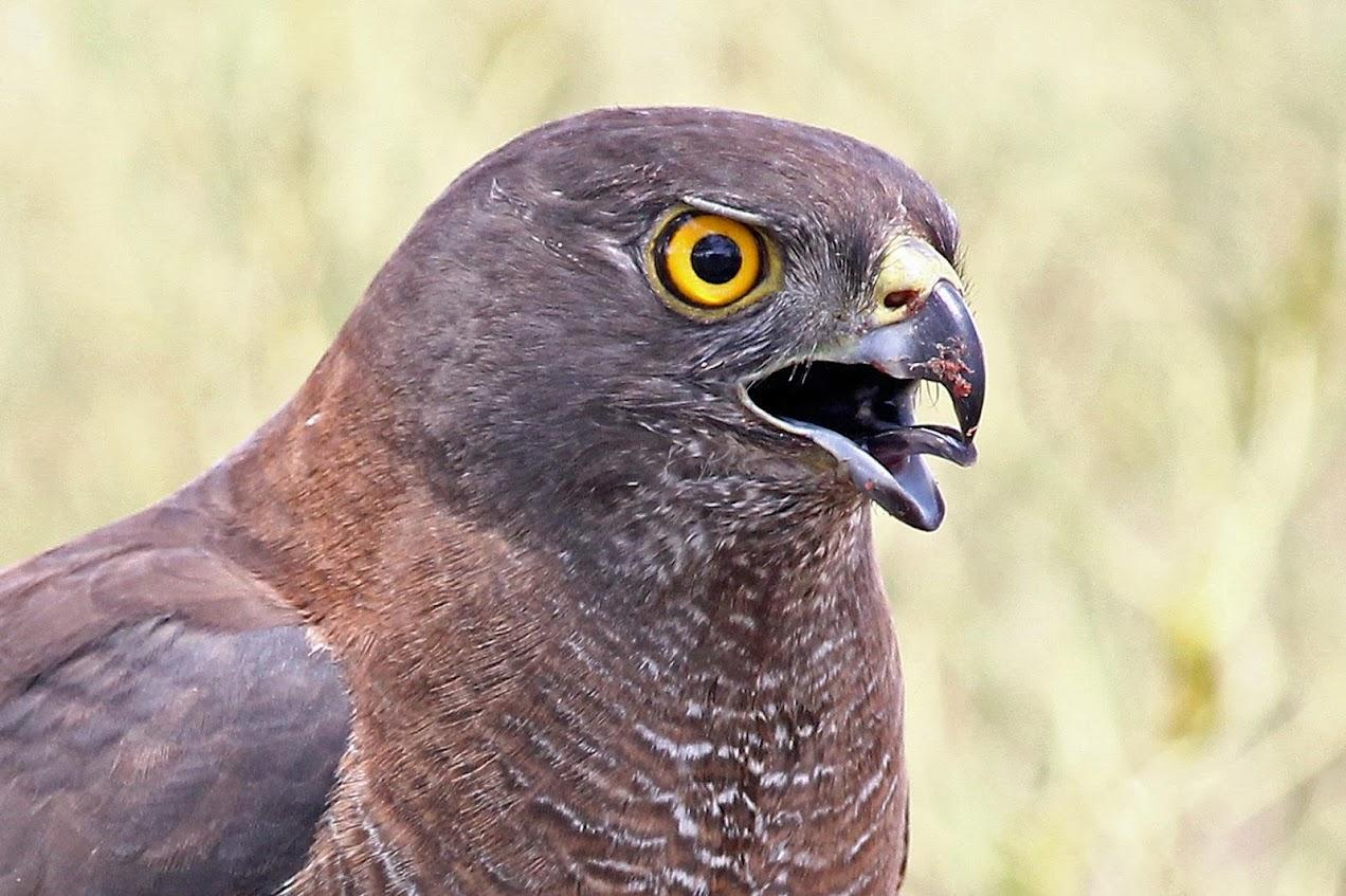 Brown Goshawk (c) P Waanders.