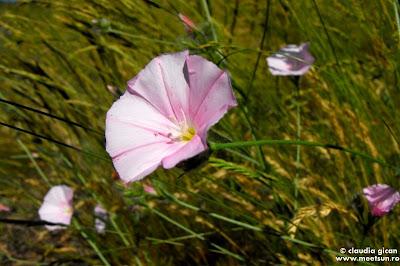Volbura cantabrica (Convolvulus cantabrica)